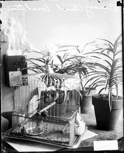 [Canary bird in a cage on a table in William Weil's store]