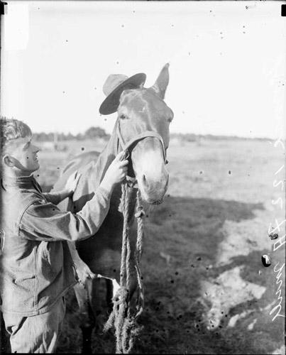 [122nd Field Artillery Regiment mule standing on a field at Camp McCoy in Wisconsin, wearing a military hat over one of its ears]