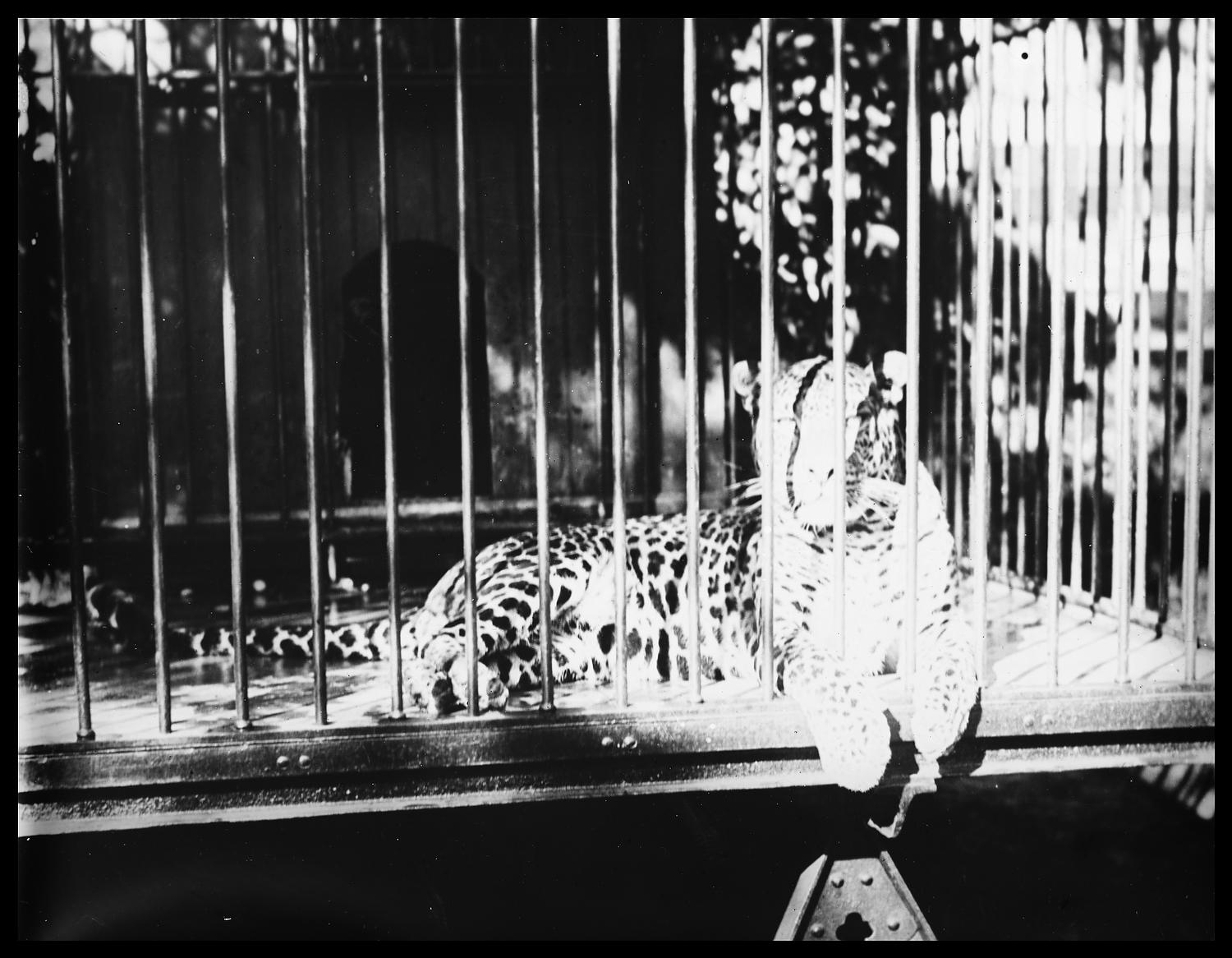 [A leopard sitting in a cage.]